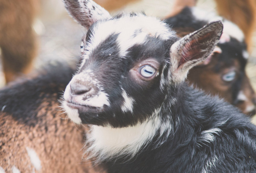 GETTING THEIR GOATS — Nigerian Dwarf Goats are among new baby animals at the Utica Zoo.