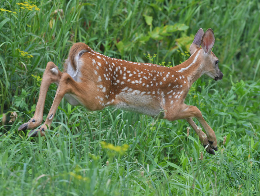 ON THE RUN —A fawn frollicks in the high grass in a field along a tree edge in Steuben last week. Summertime isn't all easy living for fawns and their mothers; does typically use the warm weather to help teach fawns the skills they'll need to survive on their own when the time comes.