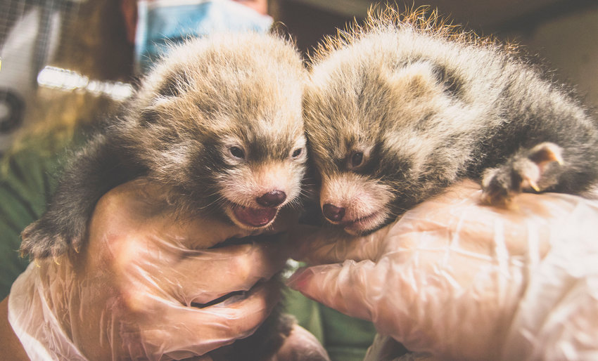 FIRST TIME TO VIEW —A pair of newborn red panda cubs will be available for their first public appearance on Saturday as part of Red Panda Day activities at the Utica Zoo.