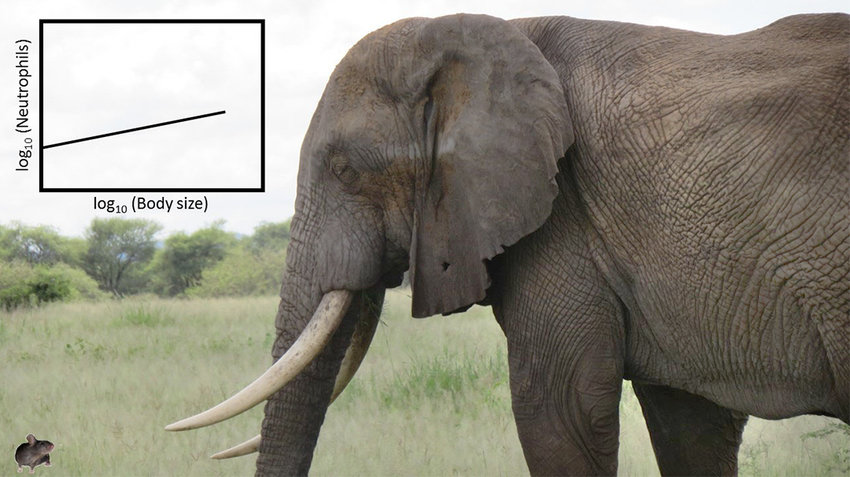 WHO'S BETTER AT DEFENSE? — Here a mouse is compared in size to an elephant.  Hamilton College Assistant Professor of Biology Cynthia Downs led a study to determine whose immune system was better equipped to help fight bacteria and infections.