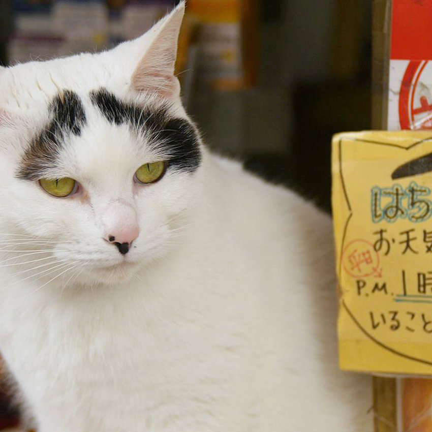 "FELINE FILM FEST — A cat featured in the short film ""Cat Nation,"" which explores Japan's fascination with cats."