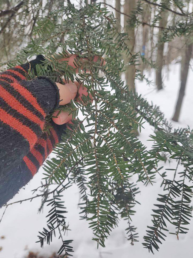 CHECKING FOR DAMAGE — A hemlock tree is checked for signs of a hemlock woolly adelgid, an invasive species. A guided hike will be held in the Trenton Greenbelt which will help volunteers learn how to spot and report the hemlock woolly adelgids.
