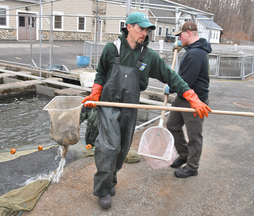 MUSSELS AND MUSCLES — A pair of workers use nets to manually haul brown trout from a holding pond at the Rome Fish Hatchery to a transport vehicle in this Sentinel file photo. Invasive zebra mussels have been found in Delta Lake, water from which supplies the hatchery. As a result, fish raised at the Rome hatchery will only be used to stock bodies of water already inhabited by zebra mussels.