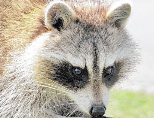 CASE CONFIRMED — Health officials say a raccoon, like the one shown in this file photo, in Kirkland tested positive for rabies. The Oneida County Health Department has reminded residents throughout the county to be wary and known the warning signs of animals with rabies.