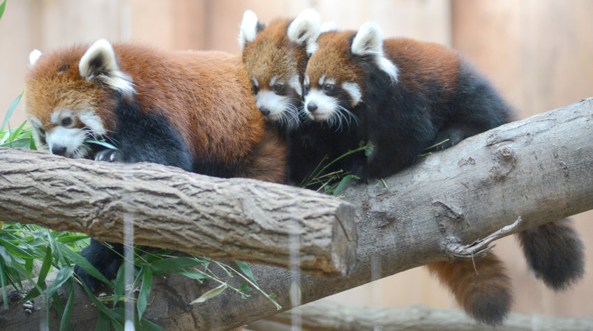 ENCOUNTER US — A trio of red pandas sit on a branch in their exhibit at the Utica Zoo in this file photo. The zoo has openings for in-person and virtual encounters with the red pandas as well as bactrian camels, Nigerian dwarf goats, California sea lions and more. To reserve an encounter or for additional information, go online to https://uticazoo.org.