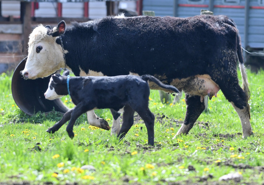 FROLICKING IN THE FIELD —A rambunctious calf and its mom head out to a pasture in Western on Friday.   Cows, dairy farmers say, often become like members of the family, each with its own distinct personality.