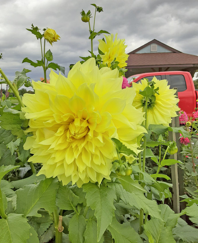 AUTUMN BLOOMS — Yellow dahlia blooms in the Parker F. Scripture Botanical Gardens