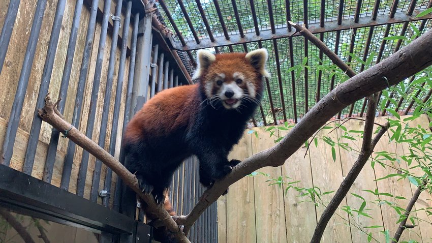 SEARCHING FOR ANSWERS — Ming Yue, a red panda living at the Utica Zoo, died on Monday, Oct. 11, zoo officials have confirmed. The female red panda showed no signs of illness or distress leading up to Monday, and zoo officials do not yet have a cause of death. A necropsy is being performed at Cornell University.