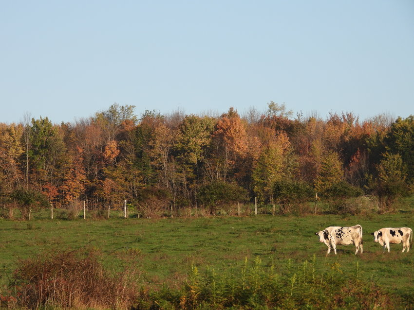 OPEN FIELDS — A pair of cows enjoy a leisurely breakfast amid the changing leaves in a pasture on one of the two adjoining farms of Richard and Wesley Hughes on East Floyd Road. The Hughes's two farms, located in the northeast corner of the Floyd, consist of more than 250 acres of open land. An agreement through a state program will prohibit residential or commercial development on the farms permanently, regardless of ownership.