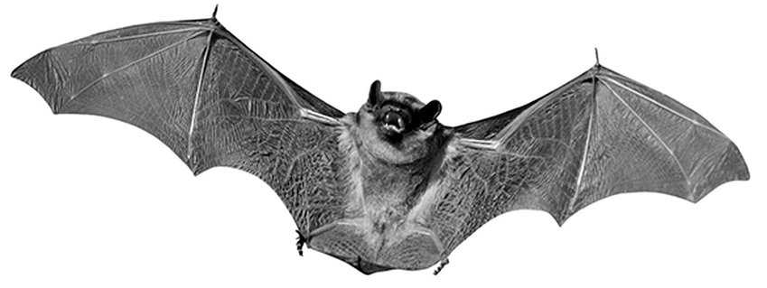 RABIES FOUND — The Oneida County Health Department has reported a positive case of rabies in a bat in the town of Whitestown.
