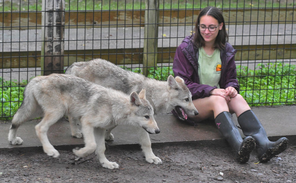 ON THE PROWL — Gabrielle Piccione, a zoology major at the University of Maine, sits by as the three and half month old wolf pups at Fort Rickey walk pass her in their exhibit.  (Sentinel photo by John Clifford)