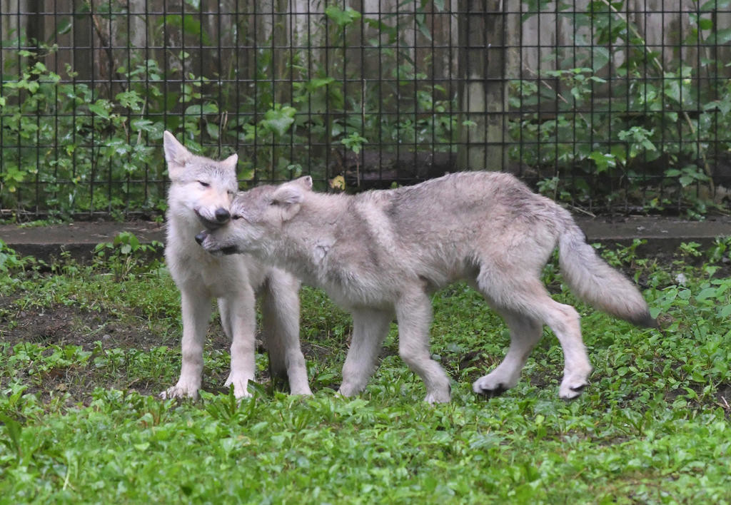 PLAYTIME — The wolf pups at Fort Rickey were released into the rest of their exhibit Friday morning and are seen here playing. The pair came to Fort Rickey from a zoo in Rockford, Ill.  (Sentinel photo by John Clifford)