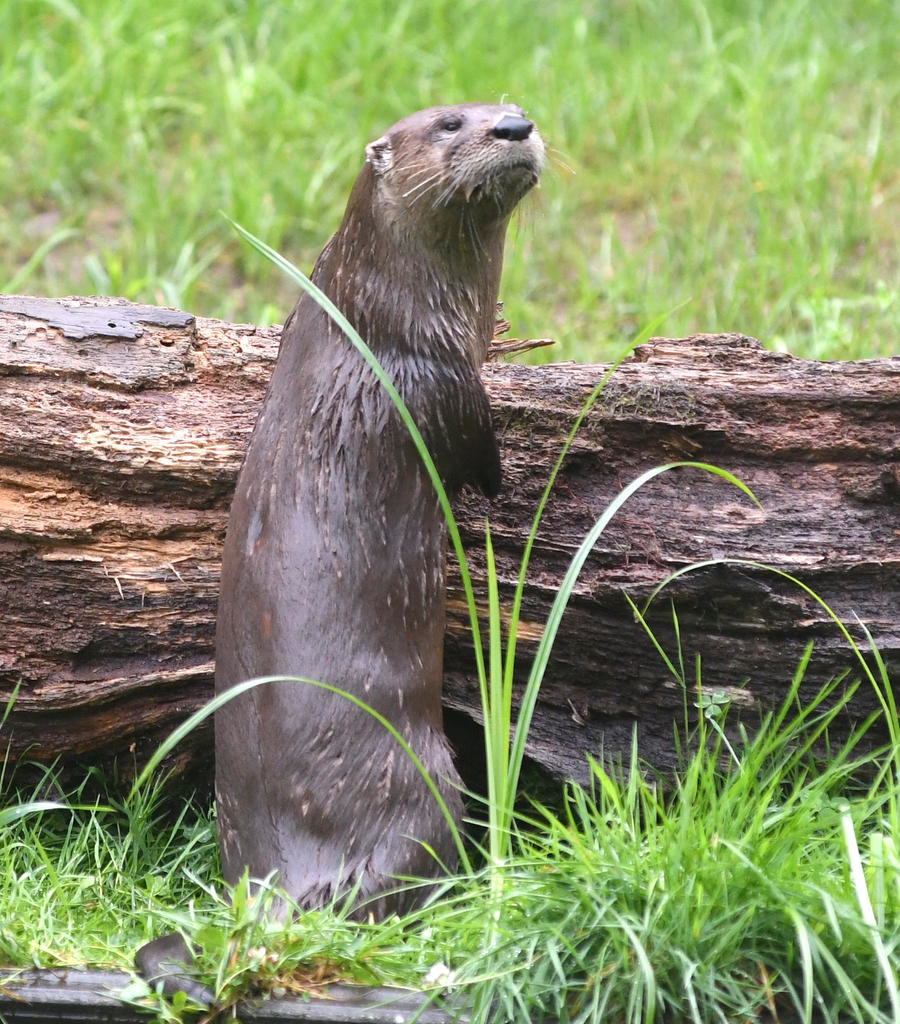 STANDING TALL — Roll, a river otter at Fort Rickey Children's Discovery Zoo looks over the landscape Friday morning.  (Sentinel photo by John Clifford)