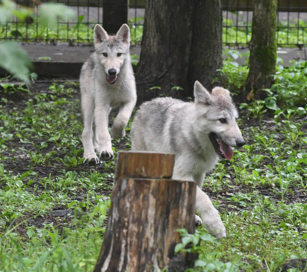 OUT FOR A JOG — The yet unnamed wolf pups were have a lot of fun after being released into the rest of their area at Fort Rickey Discovery Zoo.  (Sentinel photo by John Clifford)