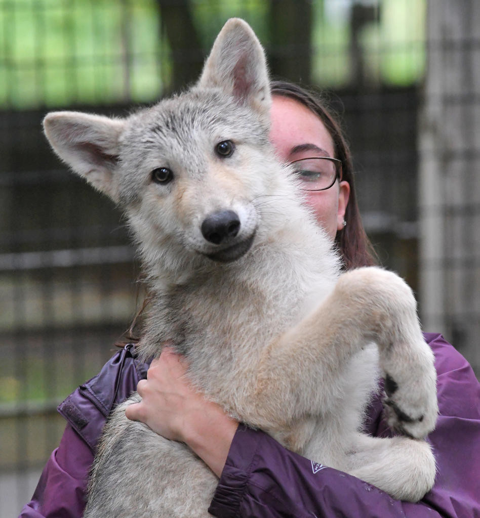 WOLF PUP — Fort Rickey Children's Discovery Zoo keeper Gabrielle Piccione holds one of the two wolf pups Friday morning. The pups were brought to Fort Rickey from a zoo in Rockford, Ill. in July.  (Sentinel photo by John Clifford)