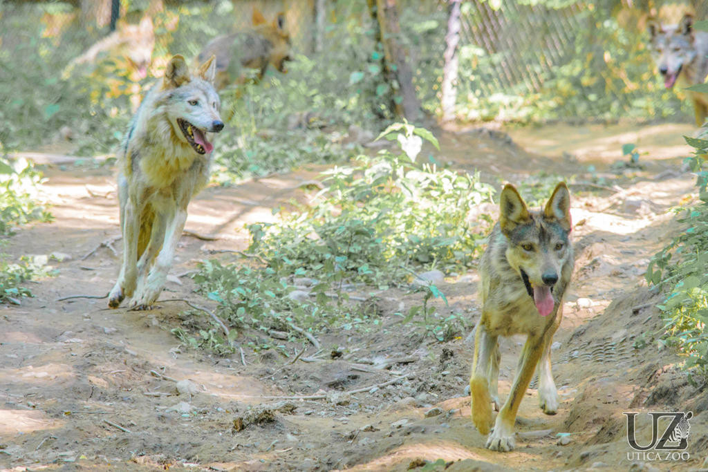ON THE PROWL — Two Mexican Gray Wolves play in their enclosure at the Utica Zoo recently.  The zoo has announced the arrival of four new wolves as part of a conservation program dedicated to the survival of the species.  (Photo submitted)