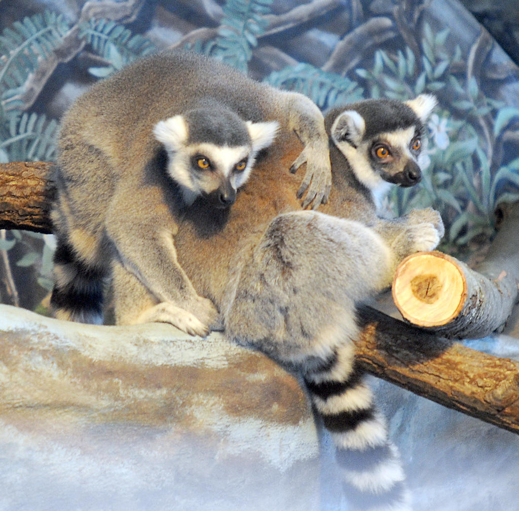 RING-TAILED LEMURS — A pair of ring-tailed lemurs frolic in their exhibit in the Utica Zoo's Primate Building.  (Photo submitted)