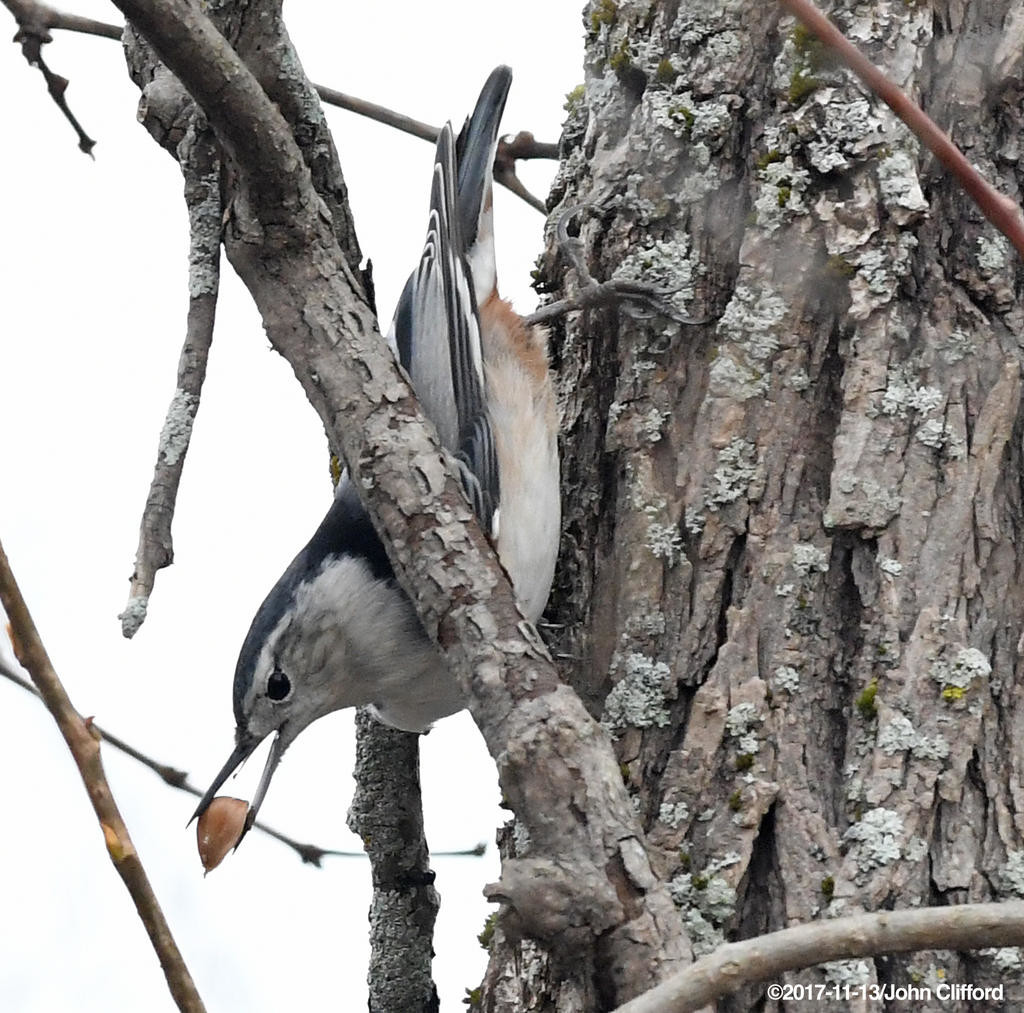 GATHERING LUNCH — A nuthatch collects seeds at Delta Lake State Park in this file photo. The bird is one of hundreds that may be seen as the Kirkland Bird Club is offering a variety of birding field trips throughout the month of May.  (Sentinel file photo by John Clifford)