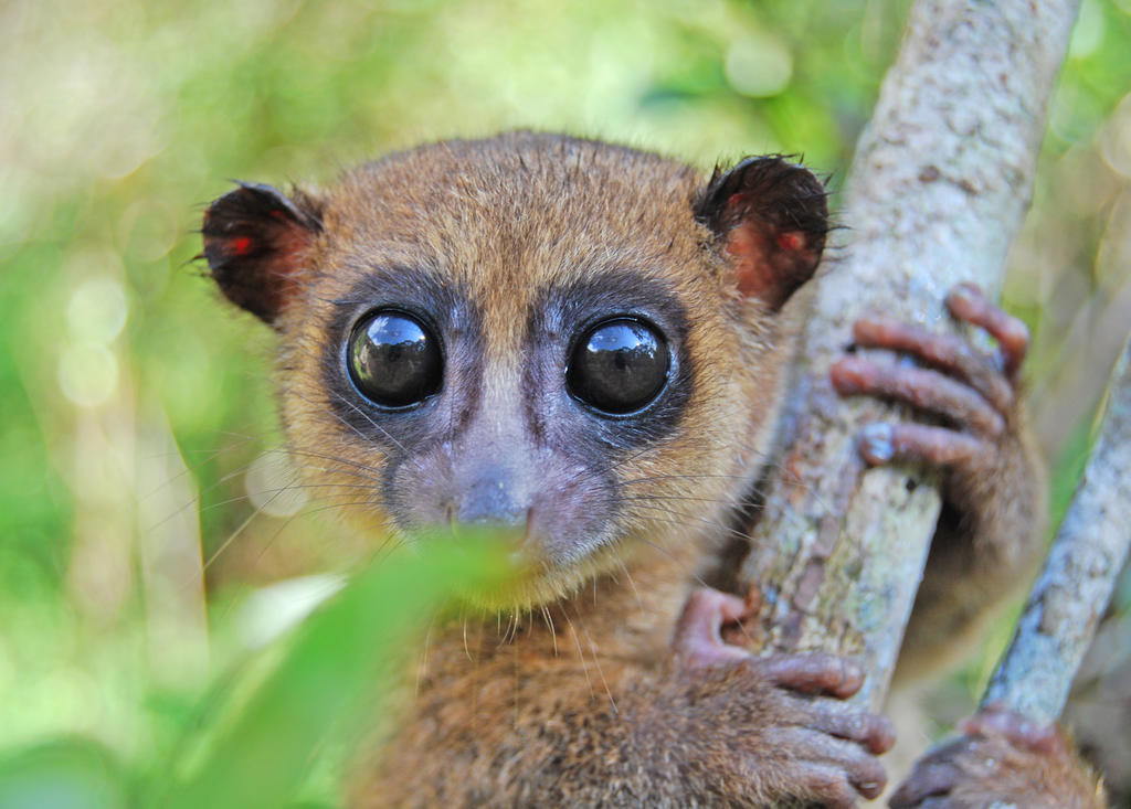 NEW LEMUR — Madagascar is the native home of all of the 100-or-so species of lemur on Earth and now, researchers have discovered a new one. It's called the Groves' dwarf lemur. The large-eyed nocturnal animal lives in the rainforest canopies of the southeastern corner of the island in two of the country's national parks.  (Photo by E.E. Louis Jr.)