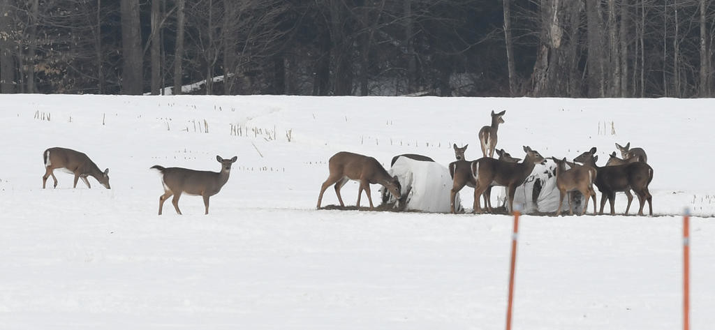 PUBLIC OPINION SOUGHT — Deer feast on a bale of hay on Carmichael Hill Road last week. The state is asking area residents to participate in a statewide survey seeking input on concerns about the state's deer population and how it is managed.  (Sentinel photo by John Clifford)