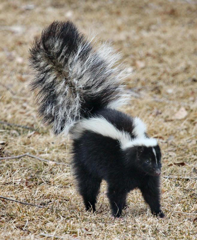 Skunk tests positive for rabies in Marcy after fighting with