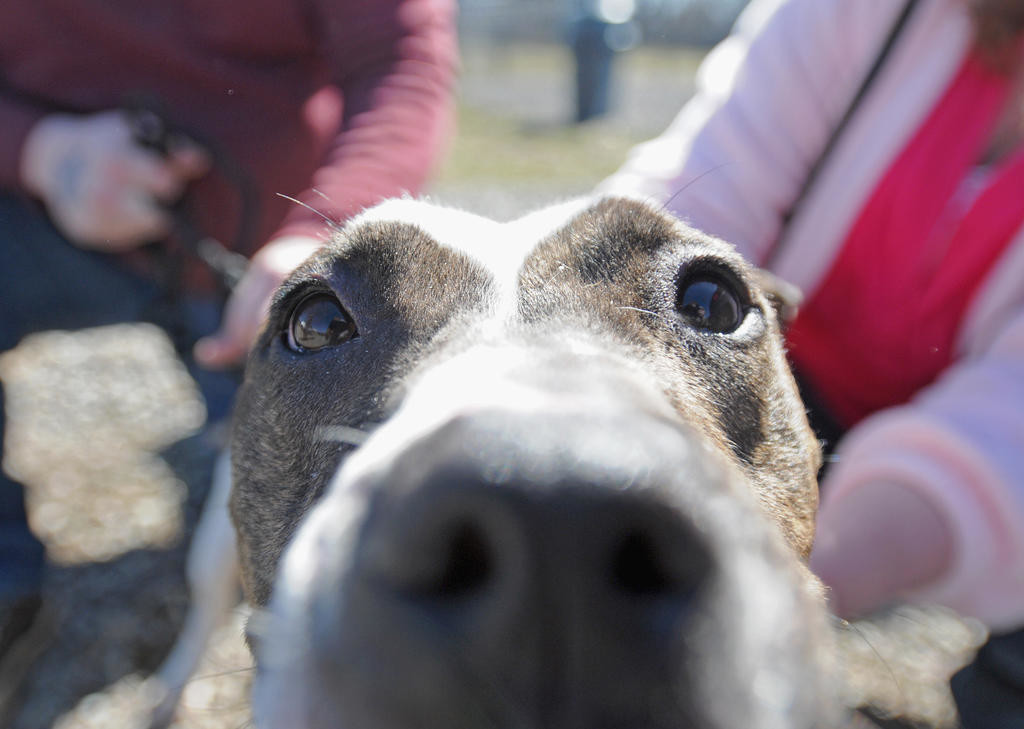 UP NOSE AND PERSONAL — Cora, one of the Lainey's Army rescue dogs from Norwich, is ready for her close-up and some love.