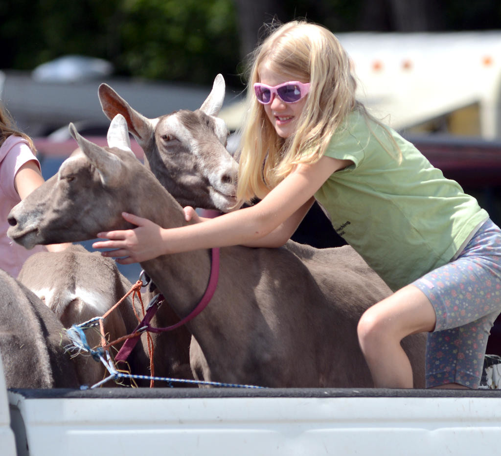 Elorah Luck, 7, daughter of James and Melonie Luck from Morehouse readies her Alpine Toggenburg goats at the Boonville-Oneida County Fair.  (Sentinel photo by John Clifford