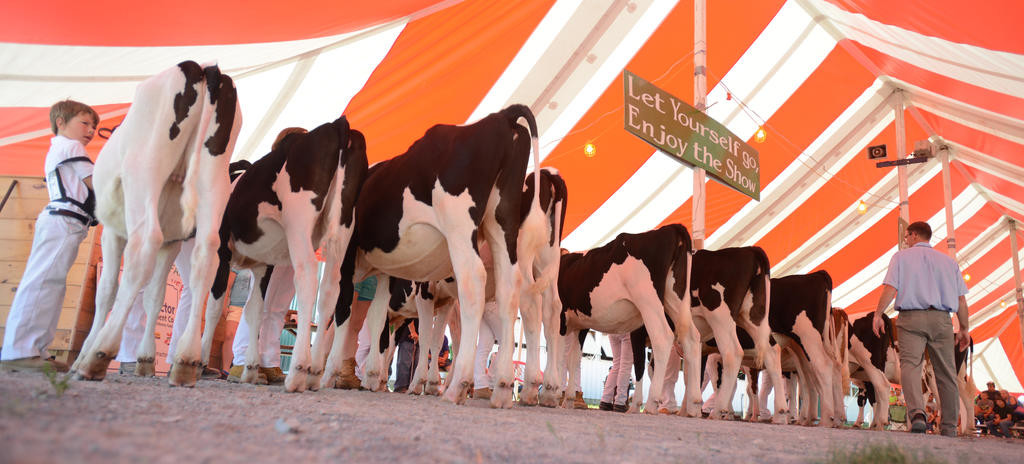 Judging of the Junior Champions class at the the Boonville-Oneida County Fair  (Sentinel photo by John Clifford