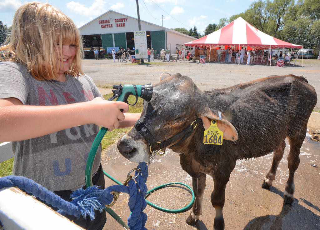 Cooling down- Elizabeth Schieferstine, 10, with her 4 month old Brown Swiss Callie at the Boonville-Oneida County Fair.  (Sentinel photo by John Clifford