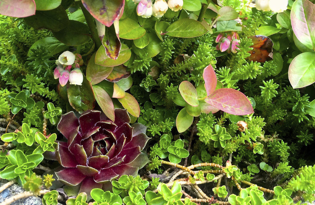SUCCULENT MIX — Succulents are easy to deal with, are resistant to disease and thrive in the dry humidity common inside homes in winter.  (AP Photos