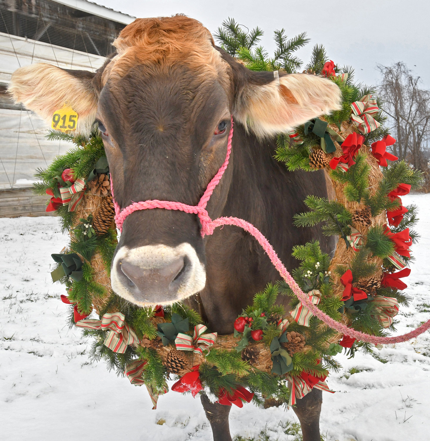 Christmas Cow.Christmas Cow Rome Daily Sentinel