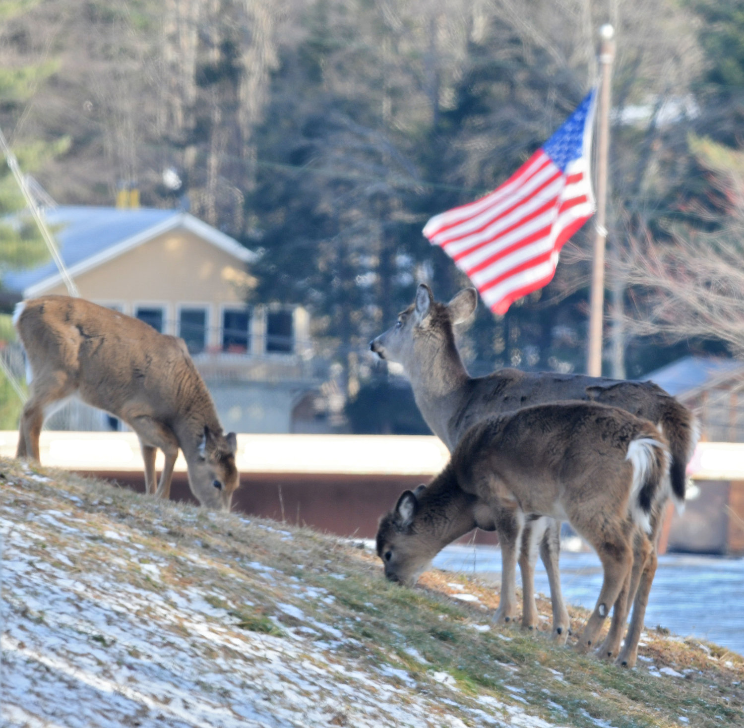 PATRIOTIC DEER — A trio of deer much on an open grassy area with a flag nearby in the village of Old Forge Wednesday afternoon.