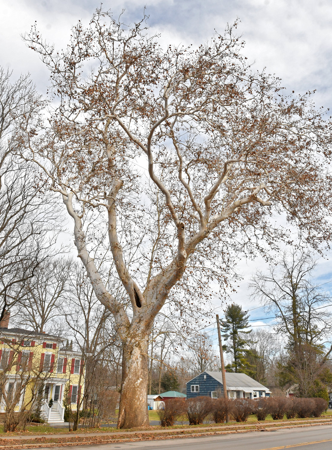 SICKLY SYCAMORE — The huge old Sycamore tree on College Street is a landmark in Clinton just on the east side of the bridge.