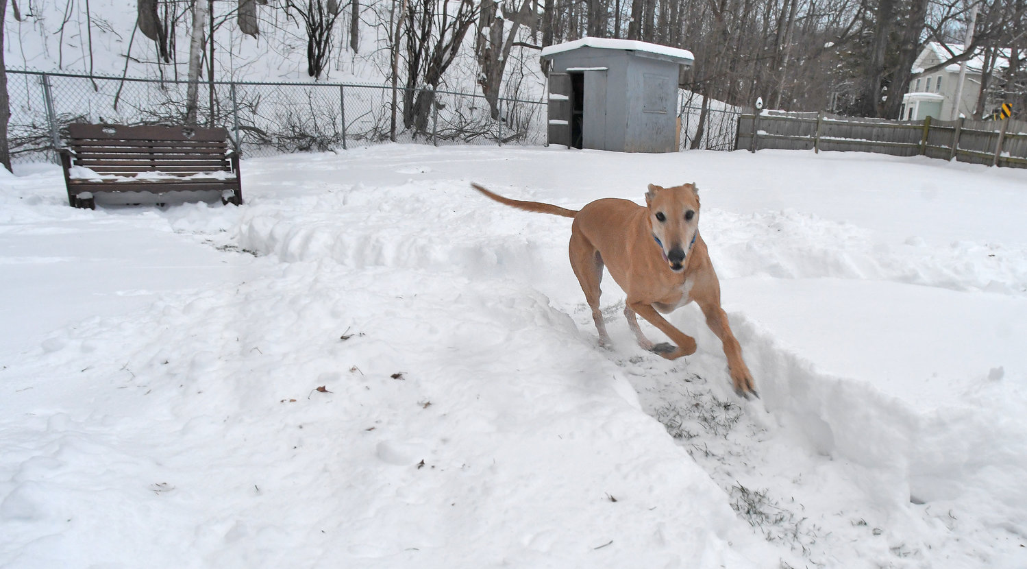 "FUN RUN — Ernie, the retired Florida racing greyhound and special companion to the Rotondos, runs around the private ""dog yard"" at Beatty Bed and Biscuit, 21 Beatty Ave. in Clinton."