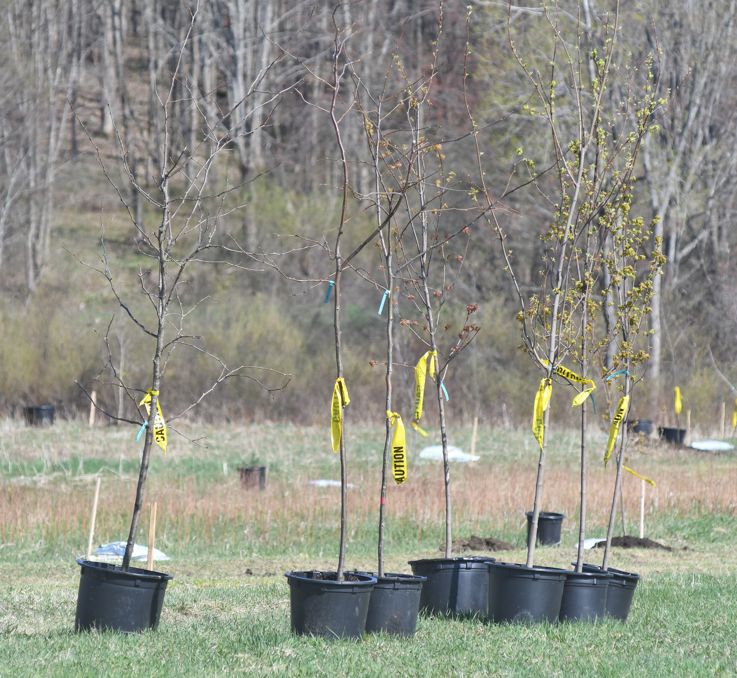 Trees ready to be planted in Floyd on a walking/nature trail that is being constructed. Locust, Red Maple, Oaks and Hawthorns are being planted along the trail.