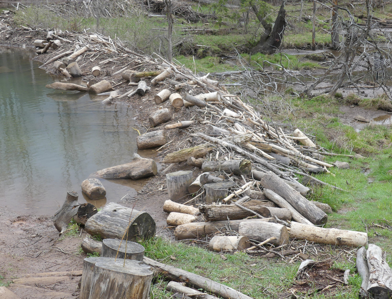 HARD LABOR — This wall constructed of logs is the result of all the handiwork of beavers who reside at the Spring Farm CARES Nature Sanctuary in Clinton.