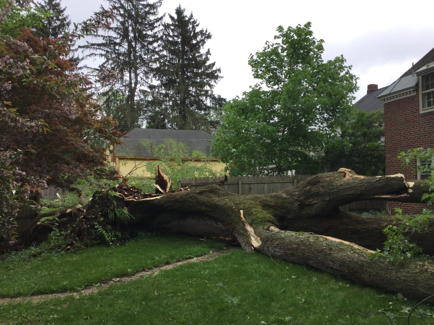 CUT OFF AT THE TRUNK — Residents said this large, tree came crashing down during Thursday's storm. One half fell in a neighbor's yard on Maple Street, while the other half knocked off the corner bricks at 302 Maple St.