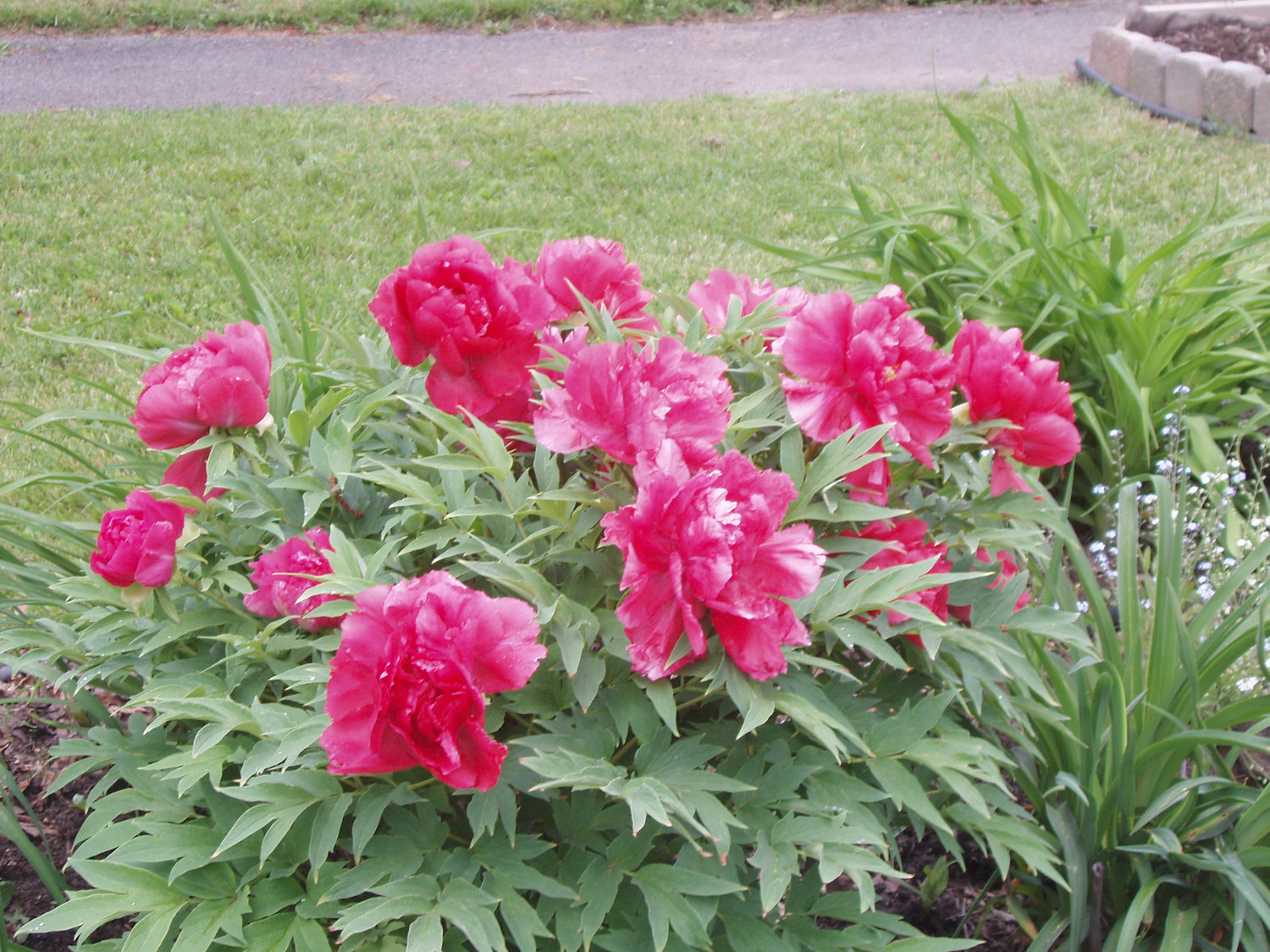 Beloved Peony Is A Delightful Garden Favorite Rome Daily Sentinel