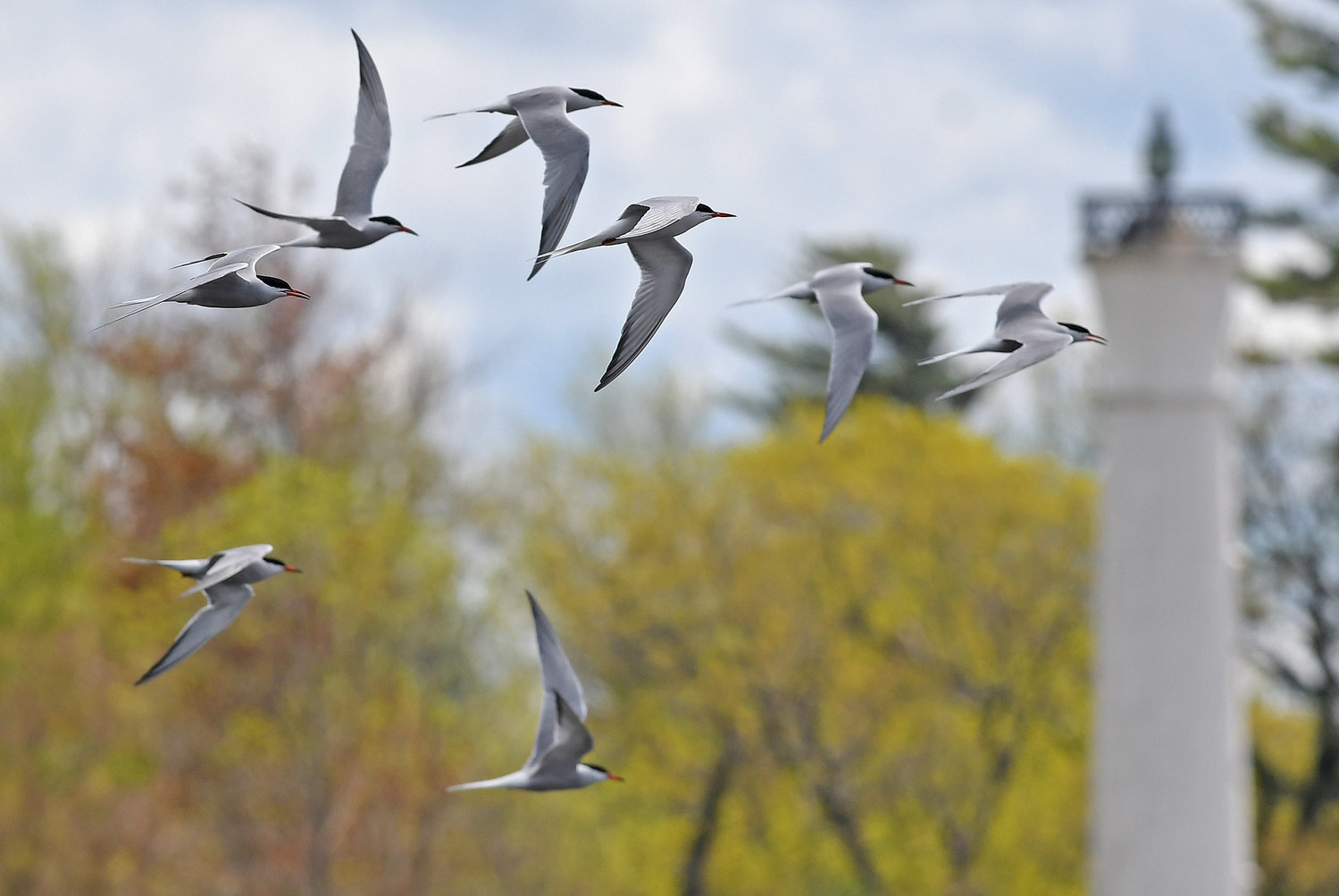 SOARING — A flock of common terns take flight with the Verona Beach lighthouse in the background on a recent spring day.