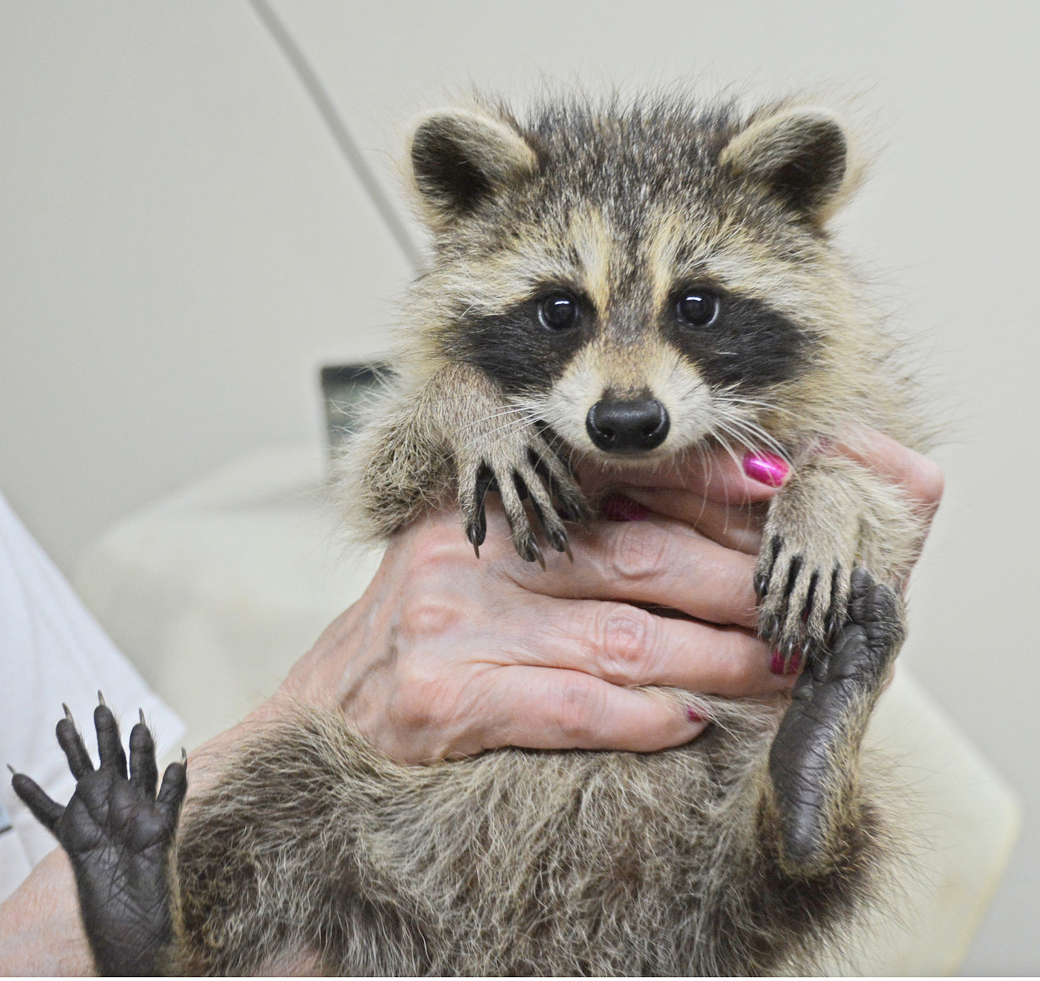 "CUTE KIT — A baby raccoon is called a ""kit""— sometimes a ""cub"" but mostly a ""kit."" This little guy, only 8-10 weeks old is in protective custody at the Woodhaven Wildlife Center in Chadwicks. He and a sibling were orphaned after their mother was struck by a car in the middle of Fountain Street earlier this month. Wildlife center owner, Judy Cusworth said they will be just fine until she re-releases them in August."