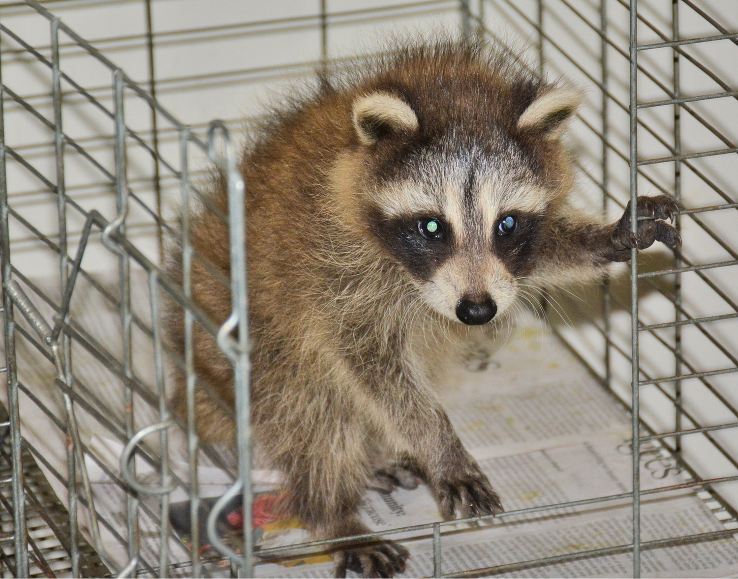 CAGEY CRITTER — This 8-10 week old raccoon kit gets used to his temporary home at the Woodhaven Wildlife Center after police brought it here following it's mothers death after being hit by a car on Fountain Street. This furry cutie  will stay with Judy Cusworth at the Woodhaven Wildlife Center in Chadwicks until it is released in early August.