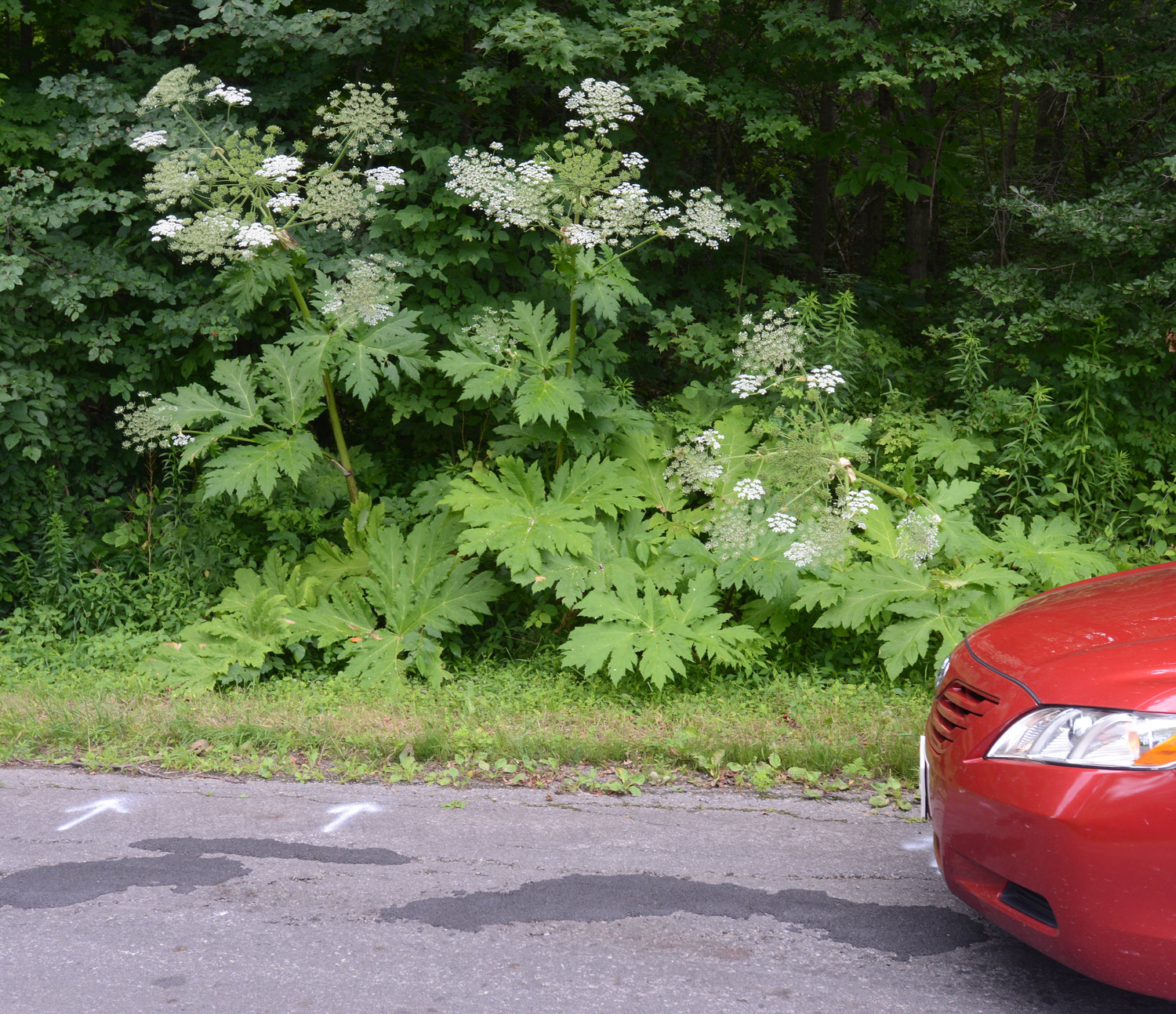 BEWARE OF HOGWEED — A  growth of noxious giant hogweed grows on the west side of Capron Road in the Town of Lee, in this file photo. Giant hogweed is a hazardous plant and should be avoided, officials warn.