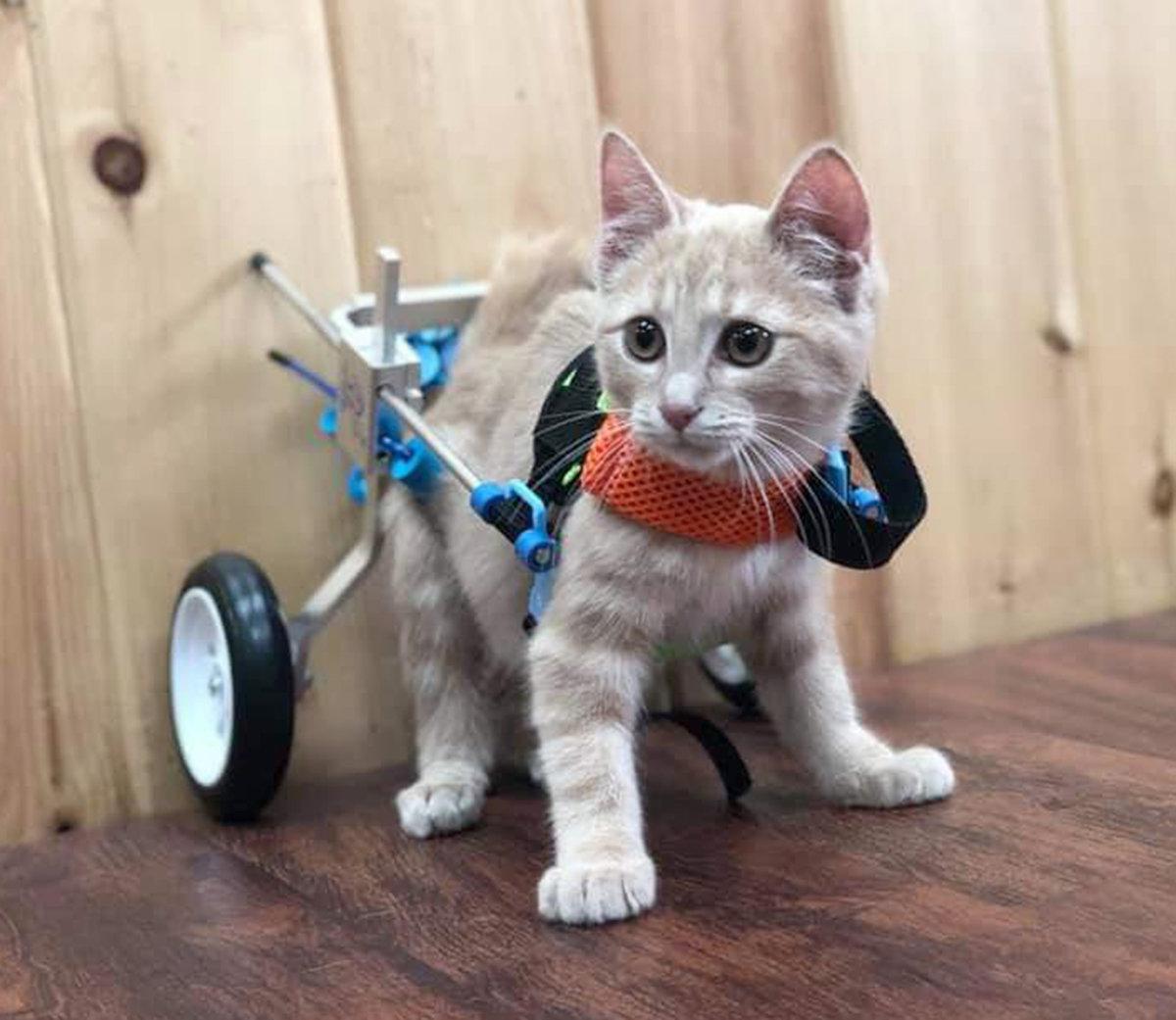 A wheelchair for Wheelie — making a handicap cat walk again