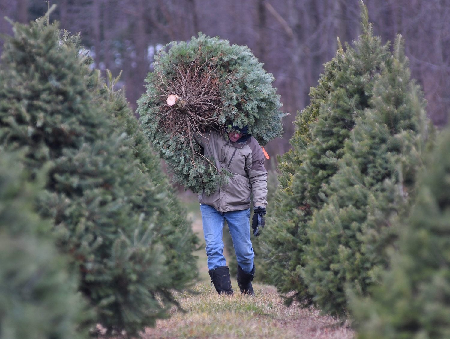 THE PICK — Jerry Johnson of Verona carries his Douglas Fir in to be wrapped up at Shuster Tree Farm on Friday in Verona. Johnson said he marked his tree a couple weeks ago.