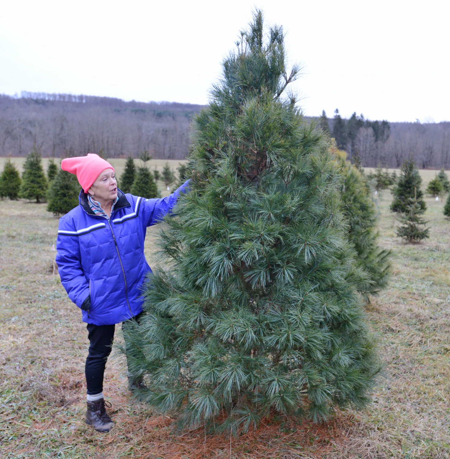 GROWER-OWNER — Kathy Iles, grower-owner of Moose Track Acres, talks about the English species of white pine she had at her Christmas Tree farm. The tree features soft long needles.