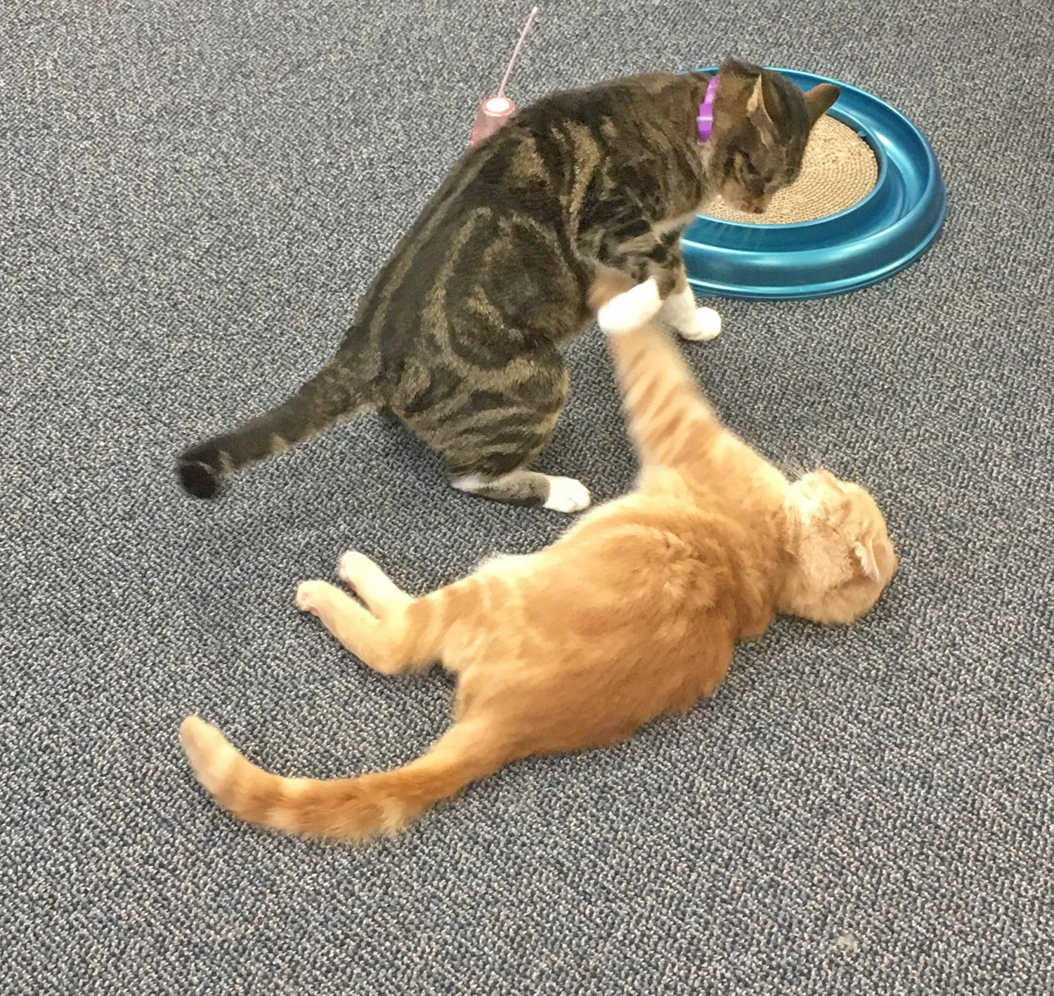 PLAY TIME — Despite his disability, Wheelie the Cat enjoys some play time with his fellow felines at Clinton Pet Vet Rescue and Sanctuary on Dwight Avenue.  The rescue is selling calendars to raise money for Wheelie's care, as well as one to support the shelter.