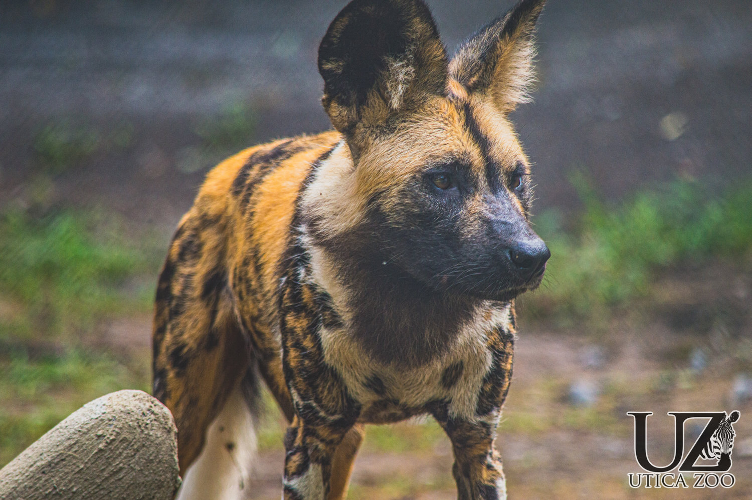 NEW AT ZOO — An African painted dog is shown in this Utica Zoo photo released on Friday. A trio of three of the animals, which are endangered with fewer than 1,500 mature adults left in the wild, have joined the pack of animals on exhibit at the Utica Zoo, 1 Utica Zoo Way.
