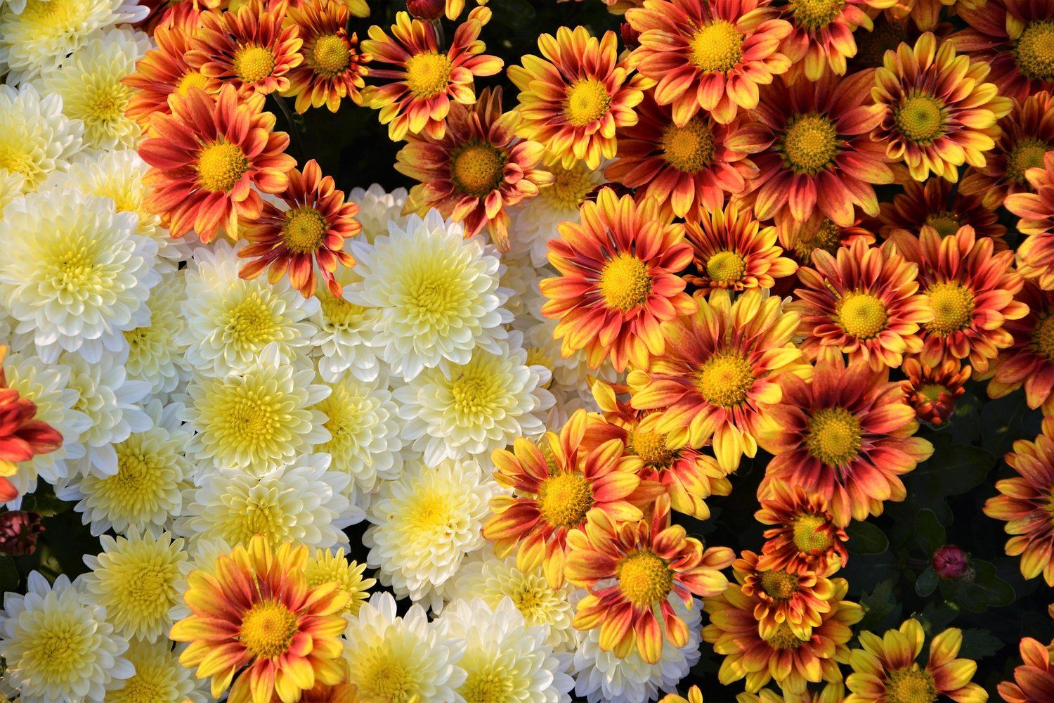 FALL COLOR — Looking for fall color in your landscape?  Try bright and beautiful chrysanthemums which come in a variety of often vibrant colors.