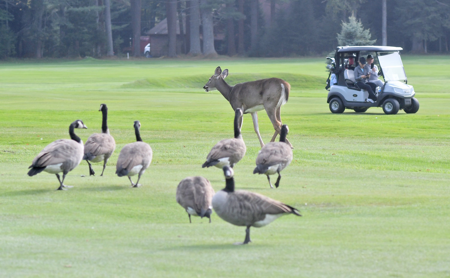 GEESE, DEER AND GOLFERS — OH MY! — Thendara Golf Club is full of life. Geese, deer and a couple of golfers line the seventh fairway on Thursday afternoon.