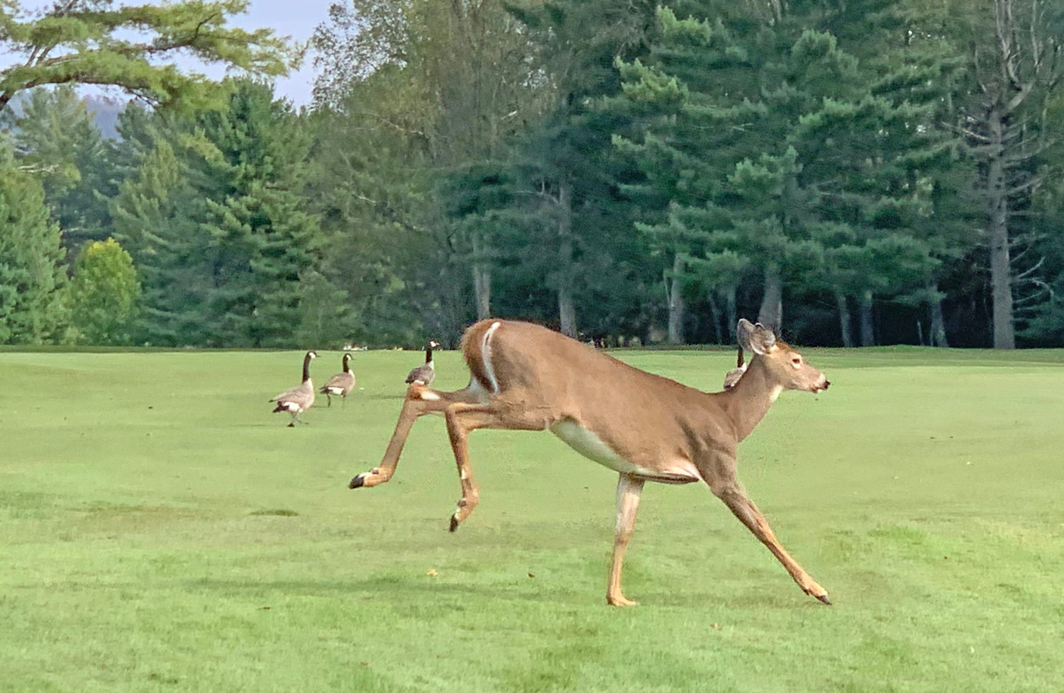 ON THE RUN — A deer crosses the eighth fairway at Thendara Golf Club on Thursday afternoon with some geese in the background.